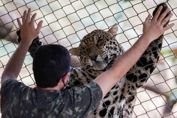 Il giaguaro e il suo curatore nel centro NGO Nex Institute in Brasile - Sputnik Italia