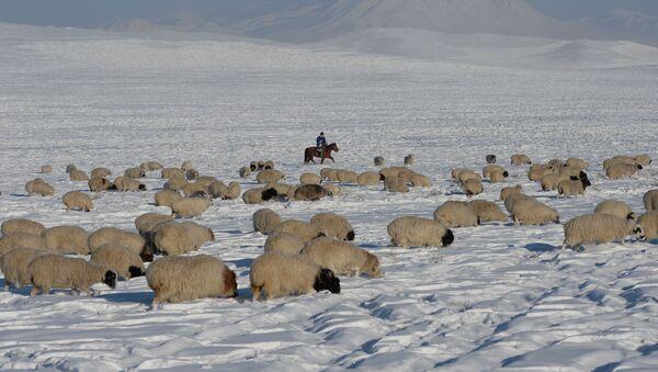 Pecore al pascolo d'inverno - Sputnik Italia