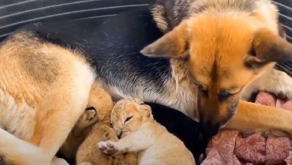 Pastore tedesco diventata madre adottiva per leoncini - Sputnik Italia