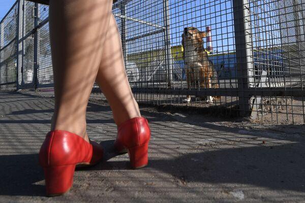 Una dipendente dell'Aeroflot vicino alla voliera con cani della razza shalaika dell'unità cinofila del dipartimento per la gestione della sicurezza aerea di Aeroflot all'aeroporto Sheremetyevo. - Sputnik Italia