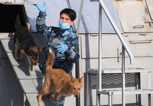 Cinologo durante l'addestramento dei cani della razza shalaika dell'unità cinofila del dipartimento per la gestione della sicurezza aerea di Aeroflot all'aeroporto Sheremetyevo. - Sputnik Italia