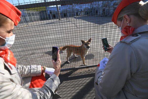 Le dipendenti dell'Aeroflot vicino alla voliera con cani della razza shalaika dell'unità cinofila del dipartimento per la gestione della sicurezza aerea di Aeroflot all'aeroporto Sheremetyevo. - Sputnik Italia