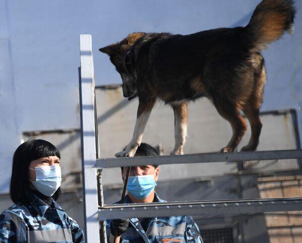 Cinologi durante l'addestramento dei cani della razza shalaika dell'unità cinofila del dipartimento per la gestione della sicurezza aerea di Aeroflot all'aeroporto Sheremetyevo. - Sputnik Italia