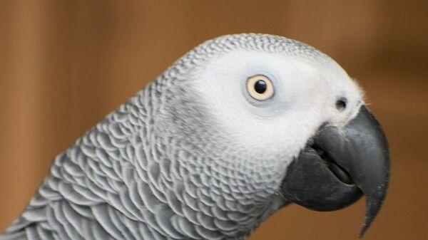 Esemplare di pappagallo cenerino - Sputnik Italia