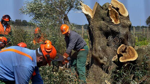 Alberi di ulivo colpiti dalla Xylella in Puglia - Sputnik Italia