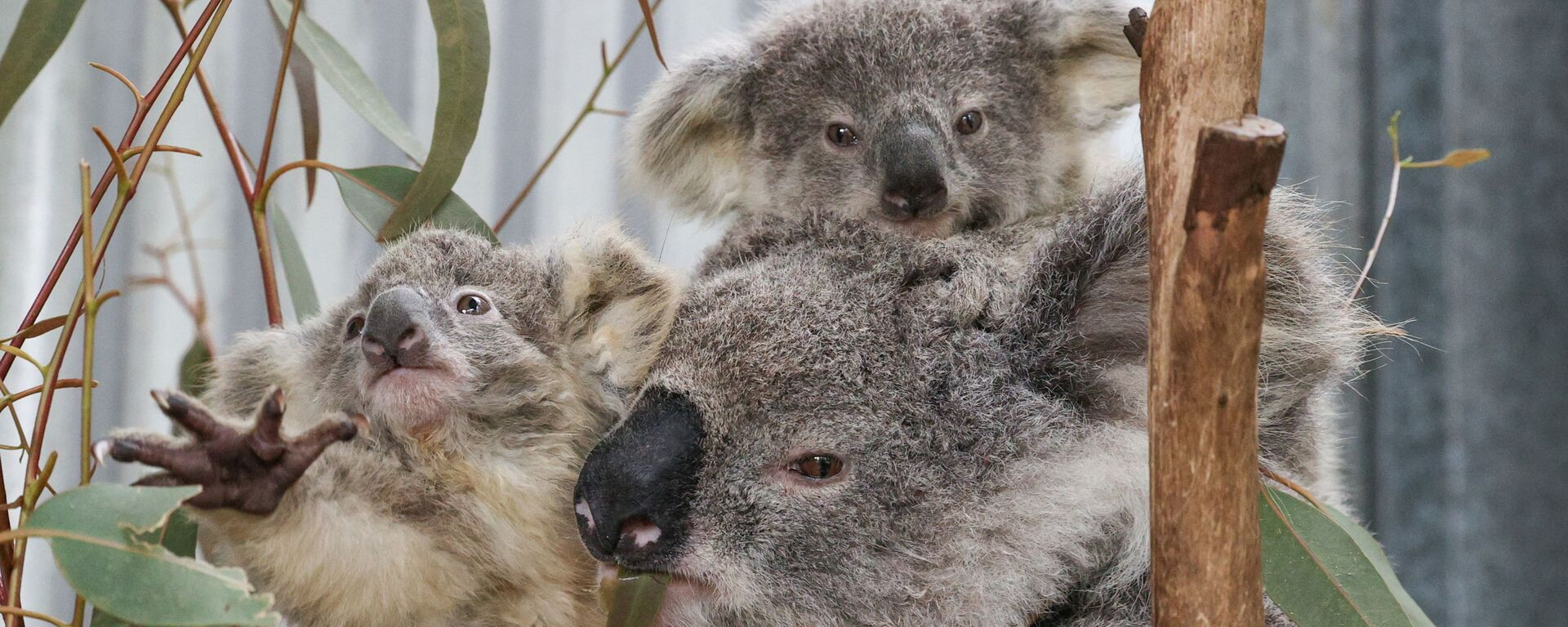 Un koala con cuccioli salvati dagli incendi forestali. - Sputnik Italia, 1920, 19.10.2020