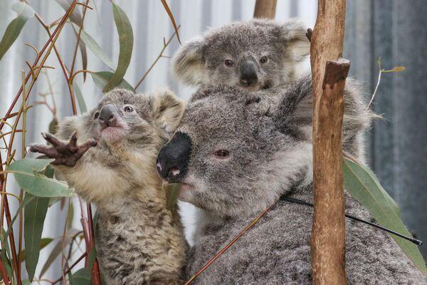 Un koala con cuccioli salvati dagli incendi forestali. - Sputnik Italia