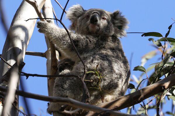 Un koala con un cucciolo che si trovano sotto il controllo dell'organizzazione Science for Wildlife - Sputnik Italia