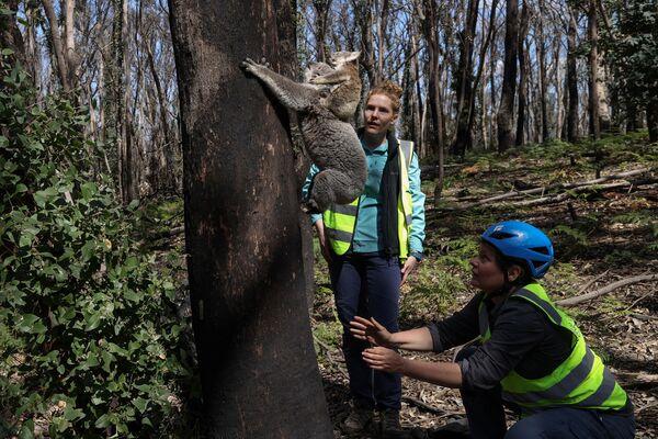 I dipendenti dell'organizzazione Science for Wildlife fanno ritornare il koala salvato dagli incendi nell'ambiente naturale.  - Sputnik Italia