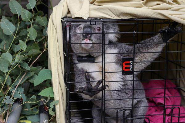 Un koala prima del ritorno nell'ambiente naturale, Grose Vale, Sydney, Australia. - Sputnik Italia