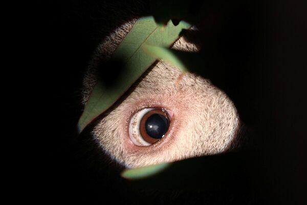 Un koala salvato dagli incendi nella clinica oftalmologica per gli animali a Sydney, Australia. - Sputnik Italia