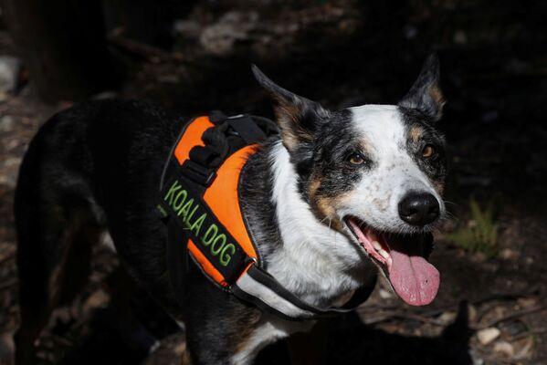 Un cane partecipa al salvataggio dei koala in Australia.  - Sputnik Italia