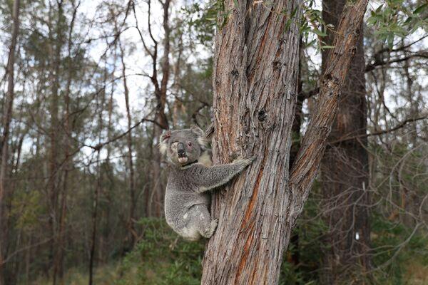 Un koala ritorna nell'ambiente naturale dopo la cura in Australia. - Sputnik Italia