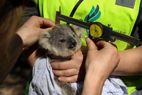 I volontari dell'organizzazione ecologica Science for Wildlife valutano la salute del koala. - Sputnik Italia