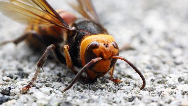 Asian Giant Hornet  - Sputnik Italia