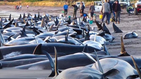 Balene spiaggiate sulla costa dello Sri Lanka - Sputnik Italia