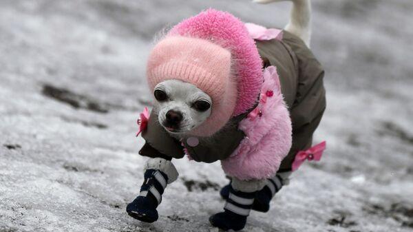 Собака породы чихуахуа гуляет по обледенелому тротуару в Дивногорске - Sputnik Italia