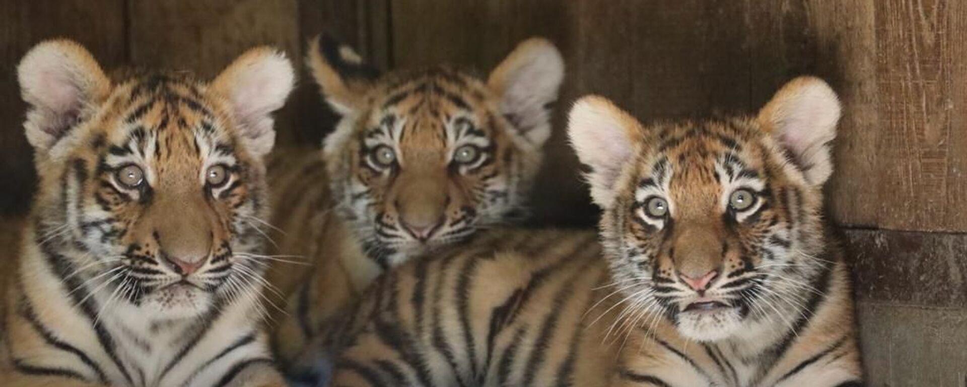I cuccioli di tigre siberiana Krai, Zov, Alina al parco Natura Viva - Sputnik Italia, 1920, 14.11.2020