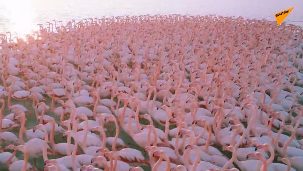 Kazakistan: lo spettacolo dei fenicotteri rosa al lago Issyk Kul  - Sputnik Italia