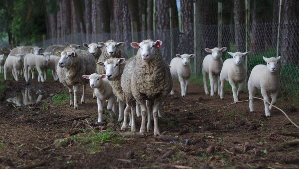 Gregge di pecore selvaggio - Sputnik Italia