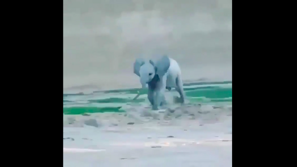 Piccolo di elefante - Sputnik Italia