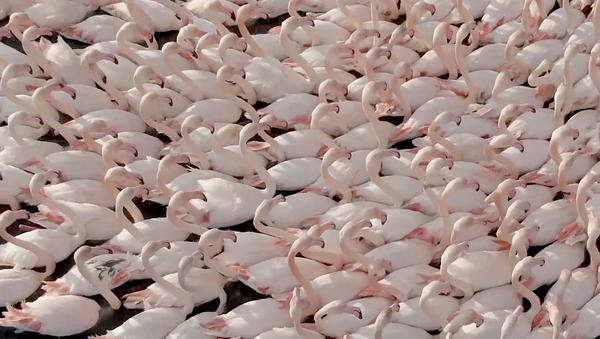 Turchia: fenicotteri riposano in una laguna a Izmir  - Sputnik Italia