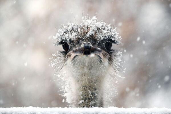 Uno struzzo dello zoo di Mosca si gode la neve - Sputnik Italia