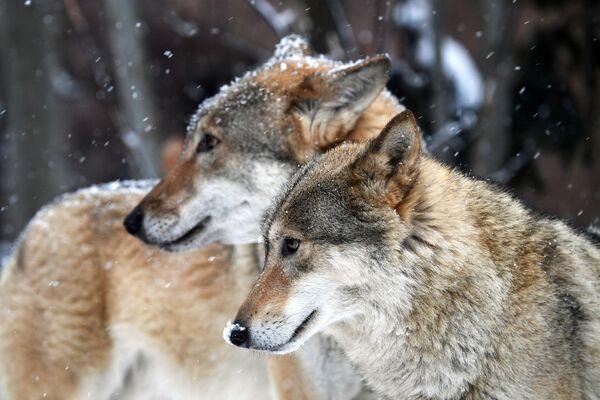 I lupi grigi dello zoo di Mosca - Sputnik Italia