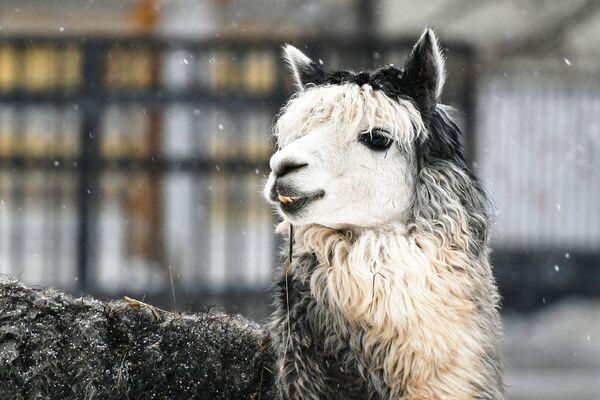 Un alpaca dello zoo di Mosca - Sputnik Italia