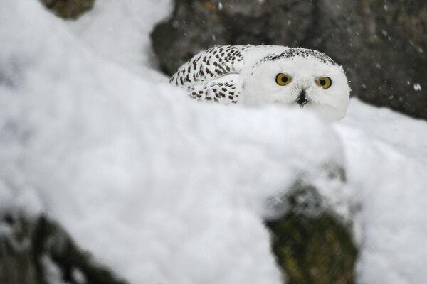Un gufo delle nevi allo zoo di Mosca  - Sputnik Italia