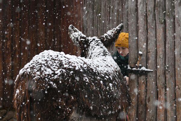Un asino sotto la neve allo zoo di Mosca  - Sputnik Italia