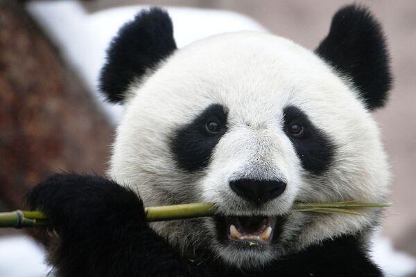 Un panda gigante dello zoo di Mosca  - Sputnik Italia
