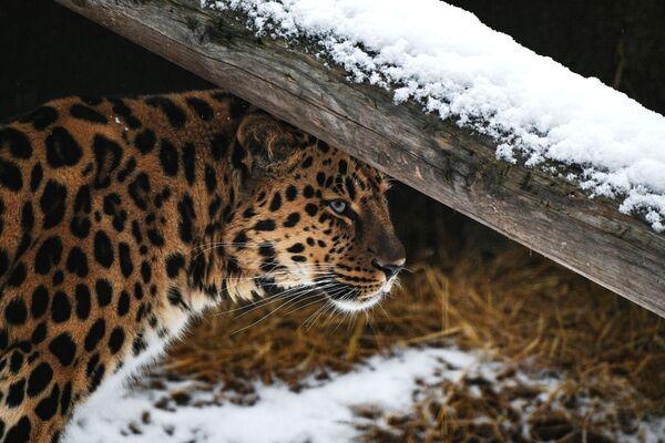 Un leopardo dell'Amur allo zoo di Mosca  - Sputnik Italia