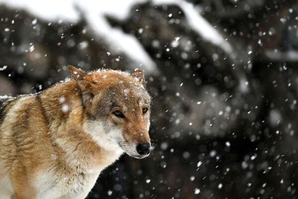 Un lupo sotto la neve allo zoo di Mosca  - Sputnik Italia