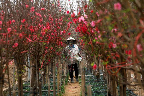 Una residente di Hanoi vende gli alberi di pesco fioriti che servono per decorare la casa durante i festeggiamenti di Capodanno Lunare in Vietnam.  - Sputnik Italia