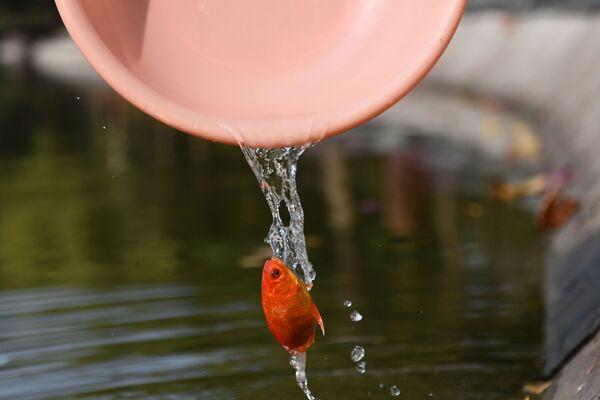 Un residente di Hanoi libera un pesce rosso nell'ambito dei festeggiamenti del Capodanno Lunare in Vietnam.  - Sputnik Italia