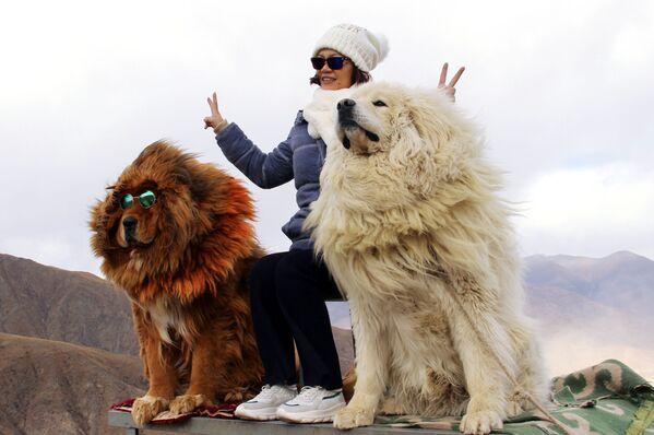 Una donna viene fotografata con cani della razza di Mastino Tibetano nelle montagne del Tibet - Sputnik Italia
