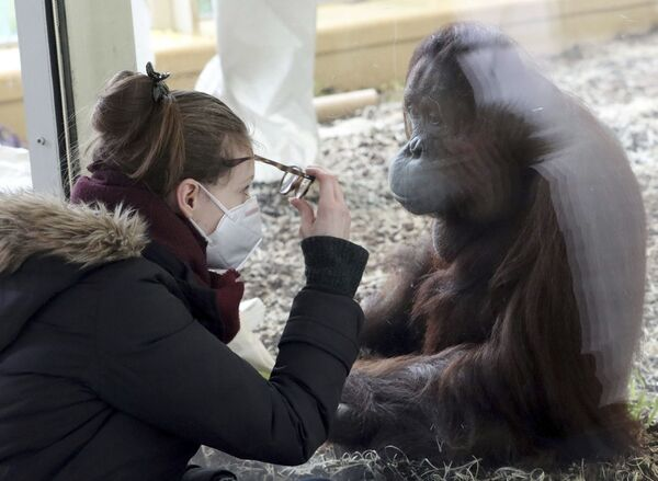 Una donna in una mascherina sanitaria guarda un orango allo zoo di Schoenbrunn a Vienna, in Austria - Sputnik Italia