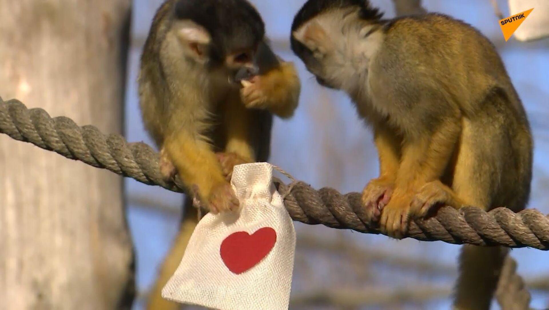San Valentino allo zoo di Londra: anche le scimmie hanno ricevuto i regalini - Sputnik Italia, 1920, 15.02.2021