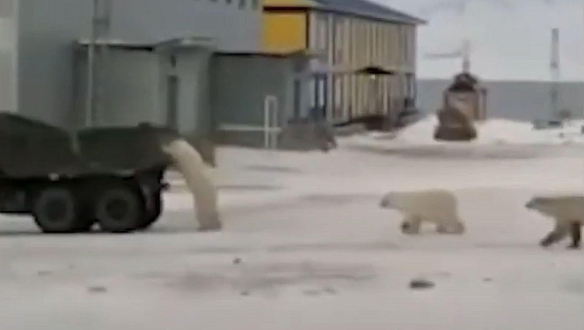 Russia: orsi polari rubano camion - Sputnik Italia, 1920, 19.02.2021