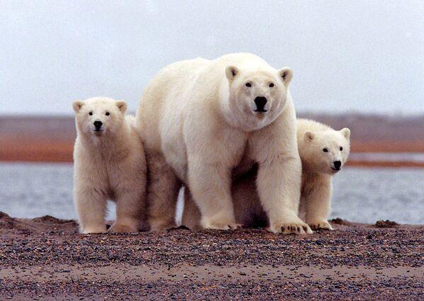 Un orso polare con cuccioli nel parco nazionale Arctic National Wildlife Refuge, Alaska.  - Sputnik Italia