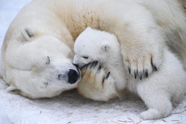 Un orso polare femmina di nome Hertha con il suo cucciolo allo zoo di Novosibirsk, Russia.  - Sputnik Italia