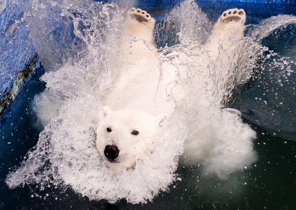 Un orso polare femmina di nome Ursula nel parco di flora e fauna Roev Ruchey a Krasnoyarsk, Russia.  - Sputnik Italia