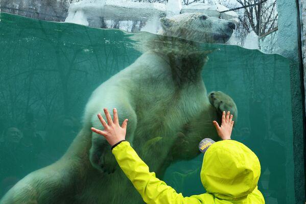 Orso polare nello zoo di Chabarovsk, Russia.  - Sputnik Italia
