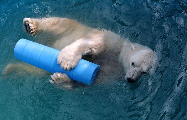 L'orso polare di 14 anni Felix fa il bagno in una piscina nel parco della flora e della fauna Roev Ruchey a Krasnoyarsk, Russia.  - Sputnik Italia