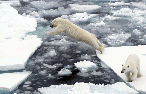 Orsi polari sulla lastra di ghiaccio nell'Oceano Artico. - Sputnik Italia