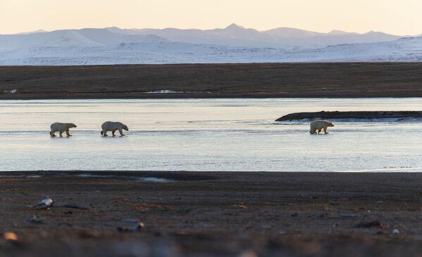 Gli orsi polari nel villaggio di Ryrkaypiy nella regione autonoma della Chukotka, Russia.  - Sputnik Italia