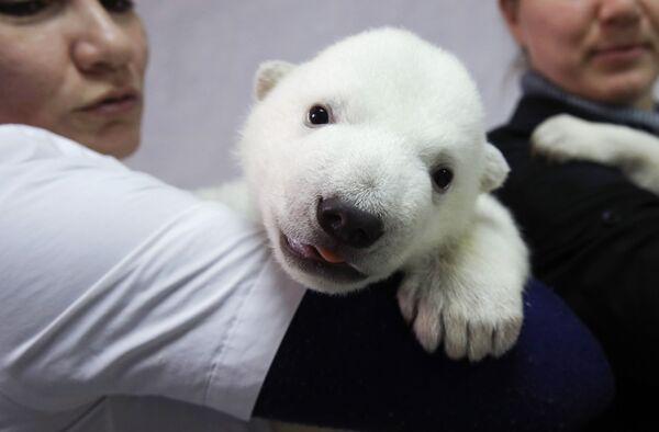Un cucciolo di orso polare nel Safari Park di Gelendzhik, Russia.  - Sputnik Italia