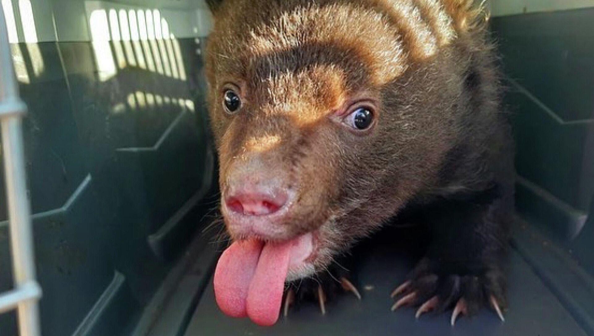 Nell'Estremo Oriente russo trovato e salvato cucciolo d'orso orfano - Sputnik Italia, 1920, 11.03.2021