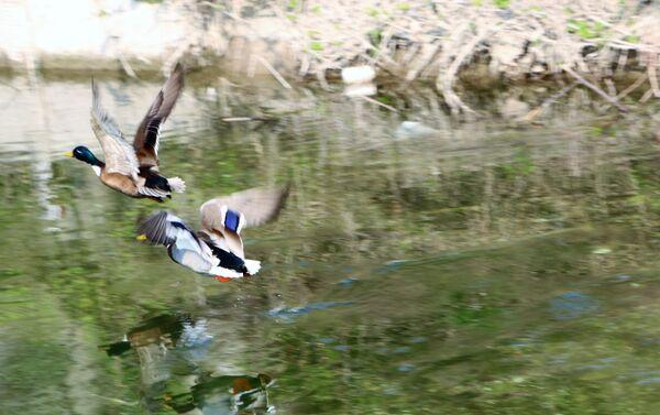 Le anatre nuotano nello stagno - Sputnik Italia